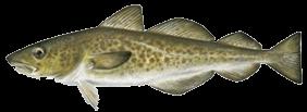 zeevissen-noordzee-kabeljauw