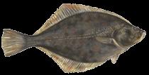 zeevissen-noordzee-bot-1
