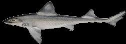 zeevissen-noordzee-gladde-haai-1