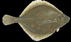 zeevissen-noordzee-schol