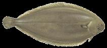 zeevissen-noordzee-tong