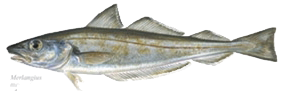 zeevissen-noordzee-wijting