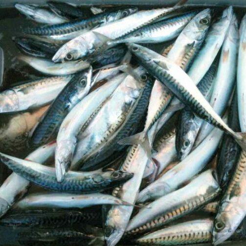 vangst na makreelvissen Zeeland